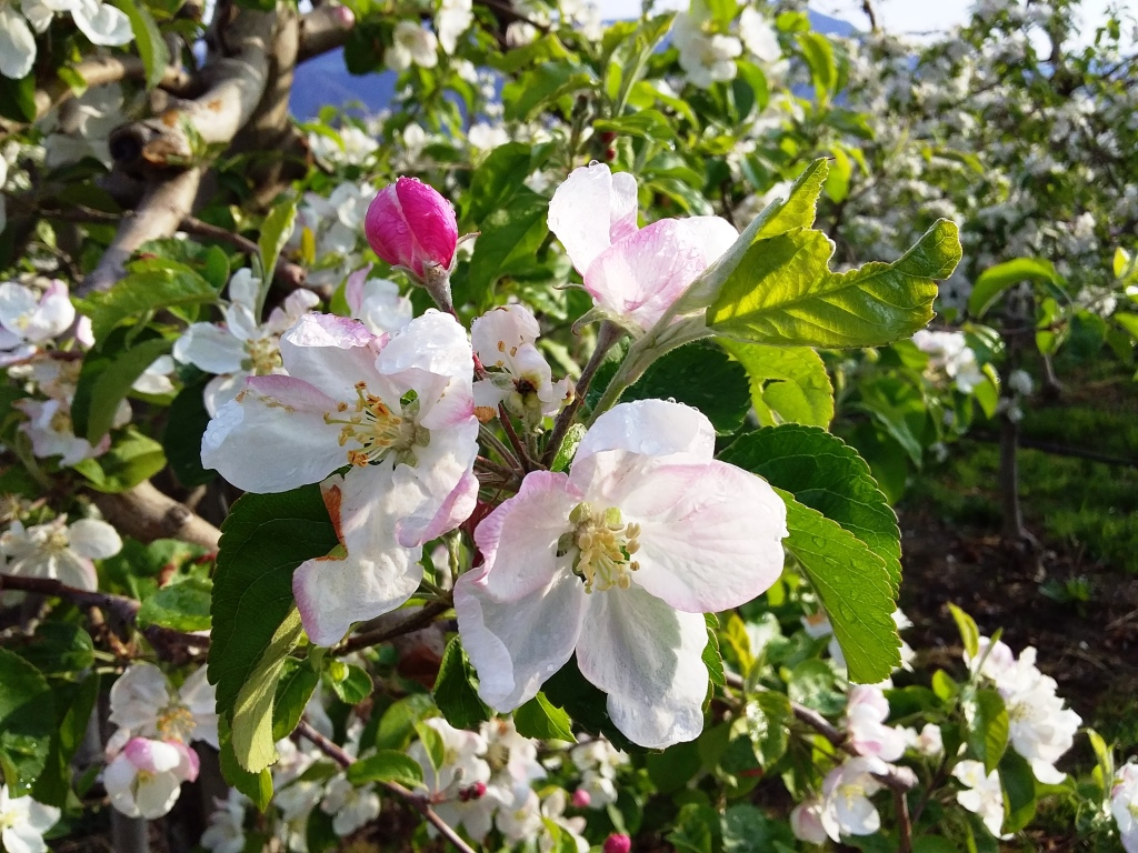 Meleti in fiore